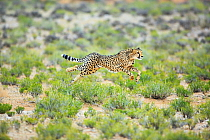Cheetah (Acinonyx jubatus) running, South Africa
