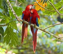 Scarlet Macaw (Ara macao) pair preening, Costa Rica