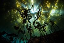 Giant Kelp (Macrocystis pyrifera) forest, new growth, Monterey Bay, California