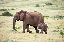 African Elephant (Loxodonta africana) tuskless mother and calf, Addo National Park, South Africa