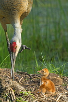 Sandhill Crane (Grus canadensis) parent tending chick in nest, Kensington Metropark, Michigan