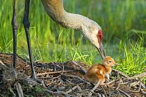 Sandhill Crane (Grus canadensis) tending chick in nest, Kensington Metropark, Michigan