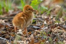Sandhill Crane (Grus canadensis) chick, Kensington Metropark, Michigan