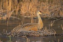 Sandhill Crane (Grus canadensis) on nest, Kensington Metropark, Michigan