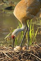 Sandhill Crane (Grus canadensis) tending eggs in nest, Kensington Metropark, Michigan