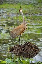 Sandhill Crane (Grus canadensis) calling on nest, Kensington Metropark, Michigan