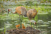 Sandhill Crane (Grus canadensis) family in nest, Kensington Metropark, Michigan