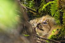 Canada Lynx (Lynx canadensis) kittens in den, Alaska