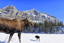 Moose (Alces alces) pair in winter, Brooks Range, Alaska