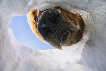 Brown Bear (Ursus arctos) looking into Wolverine (Gulo gulo) caching hole for food, North Slope, Alaska