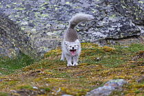Arctic Fox (Alopex lagopus) stretching, Svalbard, Norway