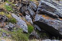Arctic Fox (Alopex lagopus) at den, Svalbard, Norway