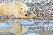Polar Bear (Ursus maritimus) male, Svalbard, Norway
