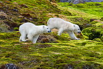 Polar Bear (Ursus maritimus) six-month-old cubs, Svalbard, Norway