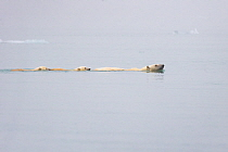 Polar Bear (Ursus maritimus) mother and six-month-old cubs swimming, Svalbard, Norway