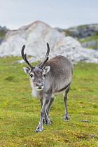 Caribou (Rangifer tarandus), Svalbard, Norway