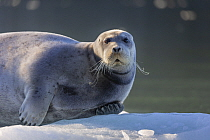 Bearded Seal (Erignathus barbatus), Svalbard, Norway