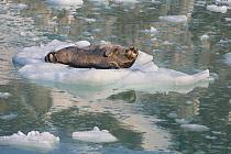 Bearded Seal (Erignathus barbatus)in ice floe, Svalbard, Norway