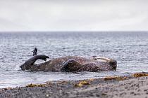 Walrus (Odobenus rosmarus) playing, Svalbard, Norway