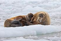 Walrus (Odobenus rosmarus) mother and calf, Svalbard, Norway