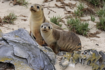 Australian Sea Lion (Neophoca cinerea) pups, Kangaroo Island, South Australia, Australia