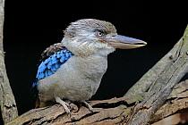 Blue-winged Kookaburra (Dacelo leachii), Kangaroo Island, South Australia, Australia