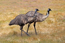 Emu (Dromaius novaehollandiae) pair, Kangaroo Island, South Australia, Australia