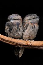 Tawny Frogmouth (Podargus strigoides) pair, Kangaroo Island, South Australia, Australia