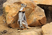 Yellow-footed Rock Wallaby (Petrogale xanthopus) scratching back against rock, South Australia, Australia