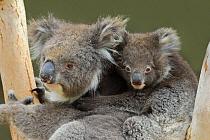 Koala (Phascolarctos cinereus) mother with joey, Kangaroo Island, South Australia, Australia