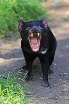 Tasmanian Devil (Sarcophilus harrisii) in defensive posture, Cudlee Creek Conservation Park, South Australia, Australia