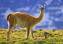 Guanaco (Lama guanicoe) mother and cria, Torres del Paine National Park, Patagonia, Chile