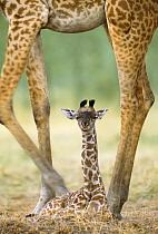 Masai Giraffe (Giraffa tippelskirchi) mother with newborn calf, Masai Mara, Kenya