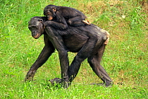 Bonobo (Pan paniscus) mother carrying young, native to central Africa