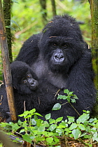 Mountain Gorilla (Gorilla gorilla beringei) mother and two year old young during rainfall, Parc National Des Volcans, Rwanda