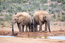 African Elephant (Loxodonta africana) females and calf drinking at waterhole, Addo National Park, South Africa