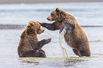 Grizzly Bear (Ursus arctos horribilis) pair play-fighting, Lake Clark National Park and Preserve, Alaska