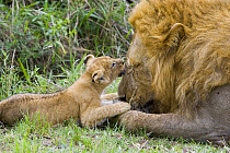 African Lion (Panthera leo) six to seven week old cub playing with adult male, vulnerable, Masai Mara National Reserve, Kenya  -  Suzi Eszterhas
