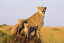 Cheetah (Acinonyx jubatus) mother and eight week old cubs, Maasai Mara Reserve, Kenya  -  Suzi Eszterhas