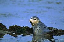 Harbor Seal (Phoca vitulina) pup in shallows, Elkhorn Slough, California  -  Suzi Eszterhas