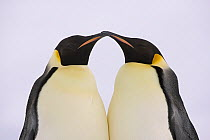 Emperor Penguin (Aptenodytes forsteri) pair courting, Weddell Sea, Antarctica  -  Ingo Arndt