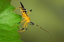 Assassin Bug (Reduviidae) a true bug of the Heteroptera suborder, Malaysia  -  Ingo Arndt