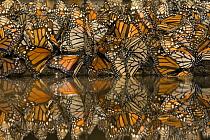 Monarch (Danaus plexippus) butterflies gathering to drink water and take up minerals, Michoacan, Mexico  -  Ingo Arndt