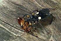 Assassin Bug (Platymeris biguttata) with cockroach prey, Africa  -  Stephen Dalton