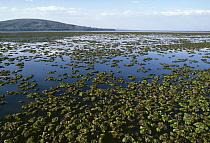 Aquatic Fern (Salvinia molesta) free-floating aquatic form, Lake Naivasha, Kenya  -  Stephen Dalton