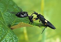 Assassin Bug (Platymeris biguttata) with ground beetle prey, Africa, sequence 2 of 2  -  Stephen Dalton