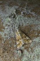 Dusky Sallow (Eremobia ochroleuca) moth camouflaged against tree trunk, Europe  -  Stephen Dalton