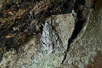 Grey Dagger Moth (Acronicta psi) camouflaged against tree bark, Europe  -  Stephen Dalton