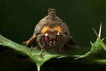 Frosted Orange Moth (Gortyna flavago) close up, Europe  -  Stephen Dalton