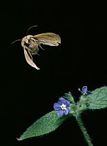 Noctuid Moth (Noctuidae) flying, Europe  -  Stephen Dalton